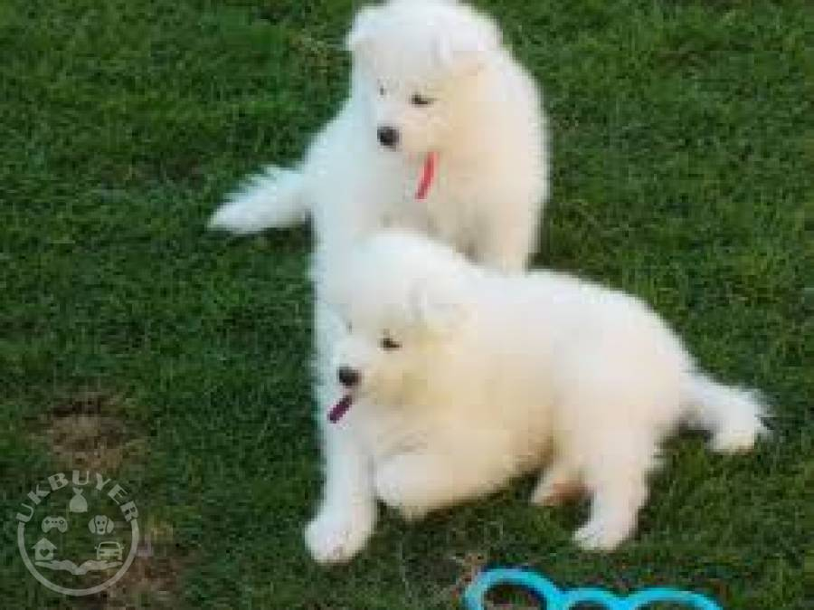 Male And Female Samoyed Puppies For Sale