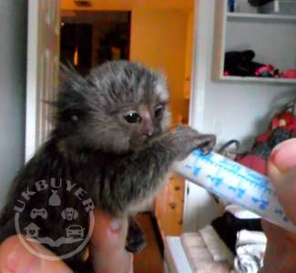 pygmy marmoset monkeys for sale