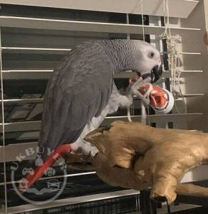 Tamed African grey parrot , cage & toys