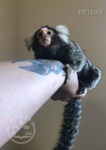 Marmoset Monkey  (1)