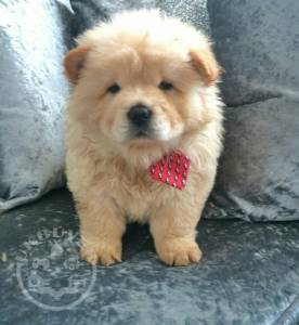 Gorgeous Red Chow Chow Puppies For Sale