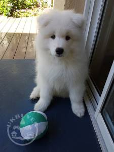 !!Samoyed Puppies for sale males and females Readyy