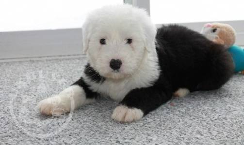 Wonderful Old English Sheepdog puppies for sale
