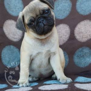PUGS FOR SALE, PUG PUPPIES FOR SALE, PUGS FOR SALE NEAR ME