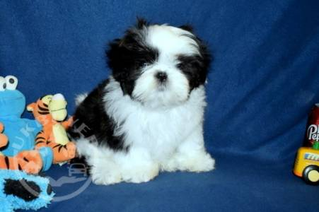 beautiful litter of shih tzu  For Sale
