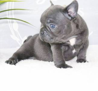 Beautiful french bulldog  Puppies! ready now