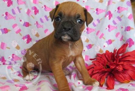 beautiful litter of boxer   For Sale