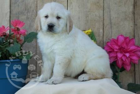 Beautiful golden labrador retriever    Puppies! ready now