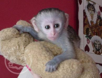 Google Approved Housebroken Pygmy Marmoset & Capuchin Monkeys