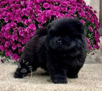 Healthy chow chow  Puppies