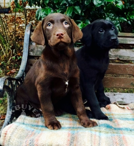Black & Chocolate Labrador Puppies